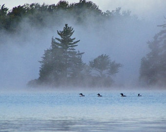 Adirondack Loons in Morning Mist  8 x 10 Photograph