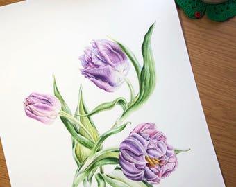 Watercolor botanical illustration: Violet tulips. Art print.