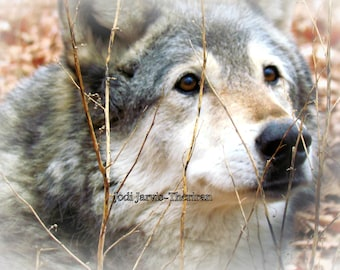 """5x 7 """"Old soul"""" Wolf Photograph"""