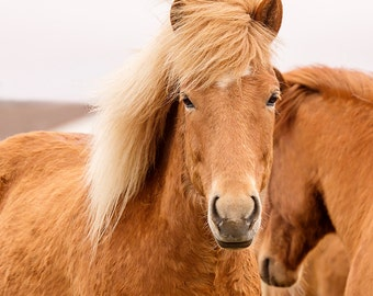 Beautiful Icelandic Horse Photograph in Color   Equine Wall Art