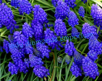 Grape Hyacinths, Very Hardy Spring Perennial Flower, 36 Young Bulbs
