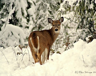 CARD, photo, fawn, deer, snow, winter, trees, whitetail deer, Ellen Strope, deer decor, note cards, greeting cards, paper goods, cabin decor