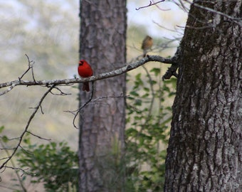 Male Carninal sitting on a branch with female mate in the background/ Large 72 x 48 inch digital print/ Instant download
