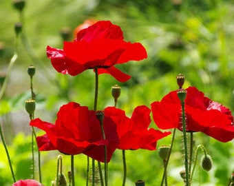 Papaver rhoeas (Field Poppy)  500 seeds.  Much loved, native British wildflower, which has become a powerful symbol of war remembrance.