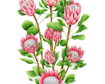King Protea: giclee print, watercolor, botanical art, botanicals, gift idea, flora, pink flower, art print, protea, flowers, nature, pink