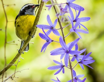 Bannanakit bird and Petrea flowers photo prints