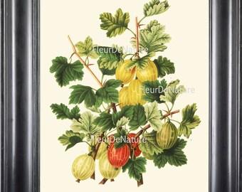 BOTANICAL PRINT Wendel 8x10 Botanical Art Print 32 Beautiful Gooseberry Berry Berries Garden Plant to FrameDecoration Room Design