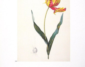 Parrot Tulip - 1986 Vintage Book Page -  Redoute Print