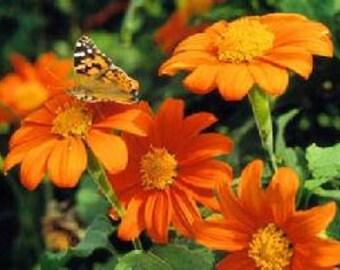 """Sunflower Fiesta - """"Mexican Torch"""""""