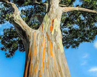 "Hawaiian Art, Fine Art Print, Rainbow Eucalyptus Tree, Hawaii Photography, Tree Bark, Oahu, Green, Orange, Nursery Wall Decor - ""Treetop"""