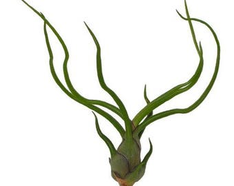 Bulbosa Belize Live Tillandsia Air Plant  (EA)