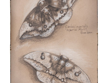Imperial Moth, Greeting Card by Renae Taylor