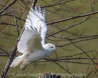 Snowy Owl in Central Ky. #2461