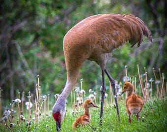 Sweet Family of Cranes