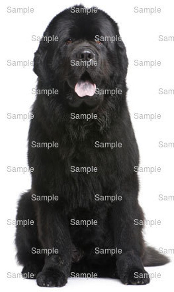 Newfoundland Dog Birthday - Edible Cake and Cupcake Topper For Birthday's and Parties! - D6713
