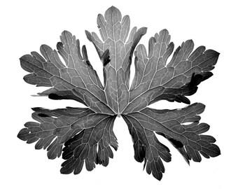 Geranium Leaf. Fine Art Photograph