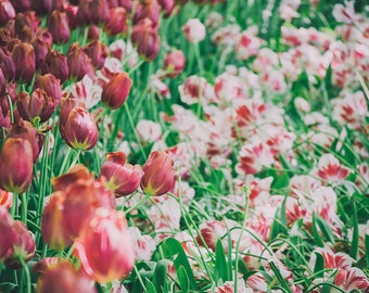 Amsterdam Tulips, Flower Photography, Tulip Landscape, Red, Pink, White, Green, Field of Flowers, Romantic Art, Bedroom, Closet, Wall Art