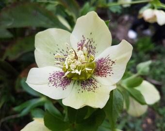 Hellebore orientalis 25 seeds
