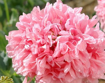 Poppy Peony Seeds, Rose, Pink Colored, Large Flowered Heads, 25 Seeds