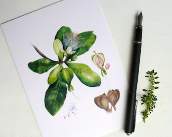 Barringtonia Botanical Card featuring original botanical painting by Australian artist, Julie McEnerny