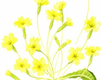 Vintage Flower Print - Botanical Print - Primrose Flower - English Primrose - The Language of Flowers - Flower Wall Art - Marilena Pistoia