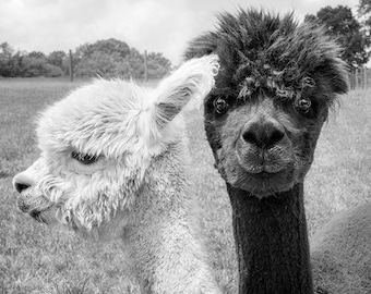 Animal Photography, Alpaca Print or Canvas Gallery Wrap, Barn Yard Animal Art, Couple, Black & White Photo, Animal Wall Decor - Oh Hey!