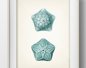 Blue Starfish 1 - SH-11 - Fine art print of a vintage natural history antique illustration,