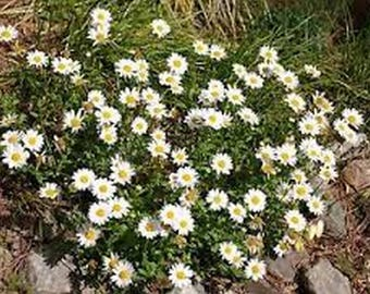 Creeping Daisy- 200  seeds