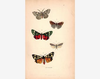 British Butterflies and Moths 1867 Print by Robinson Arctia Villica