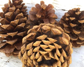 12 Real Pine Cones - Christmas Decor - Wyoming Pine Cones - Wedding Decor - Natural Embellishment - Holiday Crafts - Nature Inspired Crafts