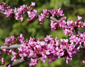 Redbud Flowers Photo