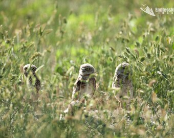 Burrowing Owl 9731 ( Speotyto cunicularia ) Burrowing Owls in the sun. Burrowing Owl Photographs, Burrowing Owl Prints, Owl wall art, Owls.