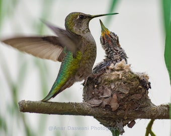 Birds; Mother Hummingbird with Baby Birds and Nest ; Part 2 of a photo series.; Nature;