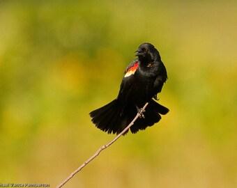 Red Winged BlackBird-Bird Photography-Nature Photography-Art-Home Decor