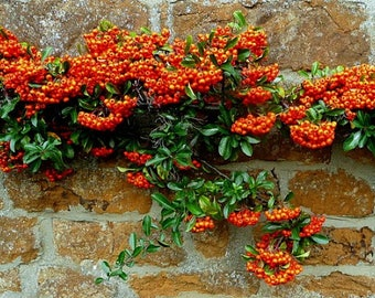 Pyracantha Firethorn, 100 bulk seeds, showy shrub, blooms and berries, cold hardy, zones 5 to 9, drought tolerant, great hedge, bird habitat