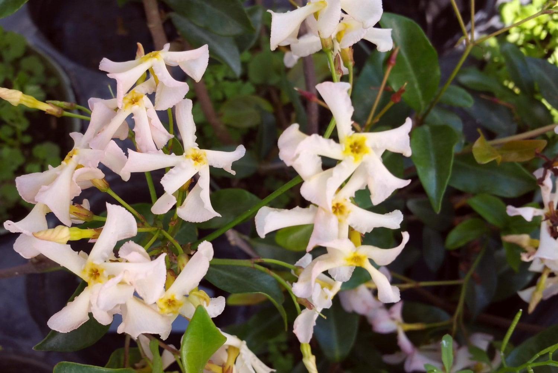 Pink showers confederate jasmine vine live plant fragrant zoom izmirmasajfo