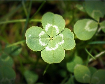 Four Leaf Clover 5x7 Photo Fine Art Photography