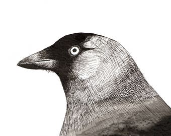 Bird Art Print Pen and ink drawing of a Jackdaw - A5 Digital Print