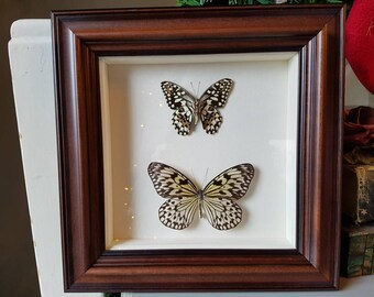 Gorgeous double butterfly taxidermy framed