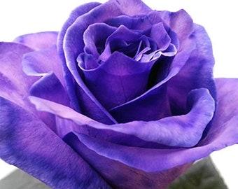 Fresh Purple Tinted Bulk Roses  (Free Shipping)