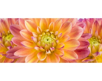 Pink & Yellow Dahlias Flower Photograph Matted to 10 X 20