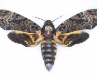 One REAL Silence of the Lambs Death's Head Moth Acherontia Lachesis