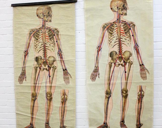 St Johns Ambulance Anatomical Chart Of The Human Skeleton Circa 1930's