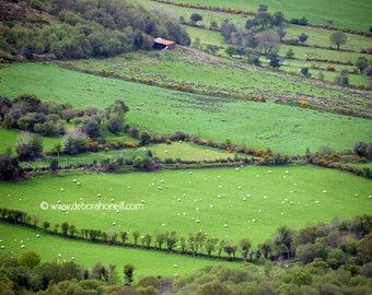 "Ireland Photography ""Irish Wool"" sheep on way to Dingle"