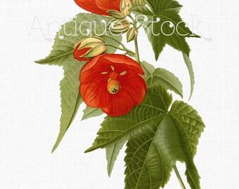 Red Flowers Instant Download - Hybrid Abutilon - Antique Botanical Illustration for Prints, Decoupage, Collages, Invitations, Cards...