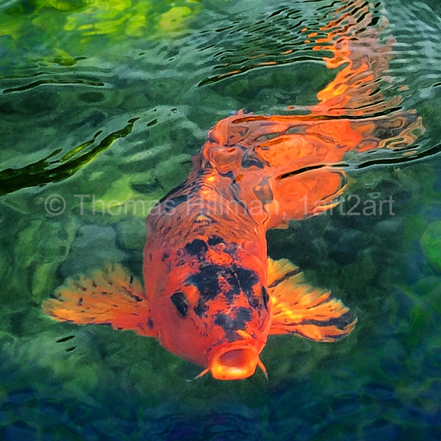 Koi Fish King of the Pond High Quality Gilcee Canvas Print