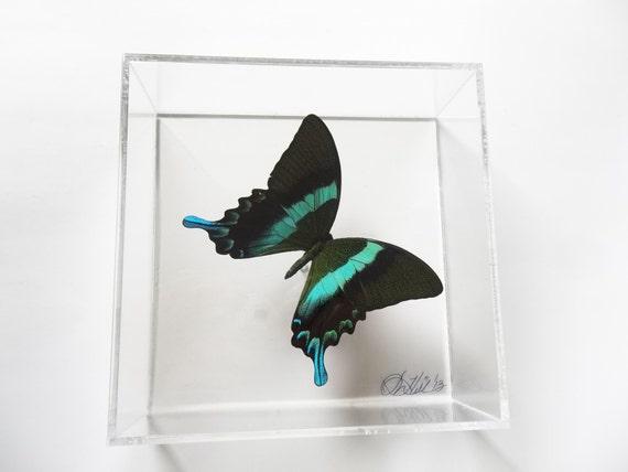 Blue Tips 7x7 butterfly