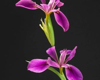 Louisiana Iris, original photograph, garden flowers, iris, southern flowers, gift for gardner, wall art,