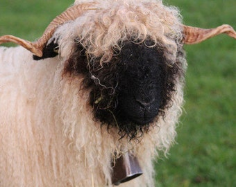 Rare Valais Blacknose Wool / Unwashed Wool / Imported from Europe / 4 oz Raw Valais Wool