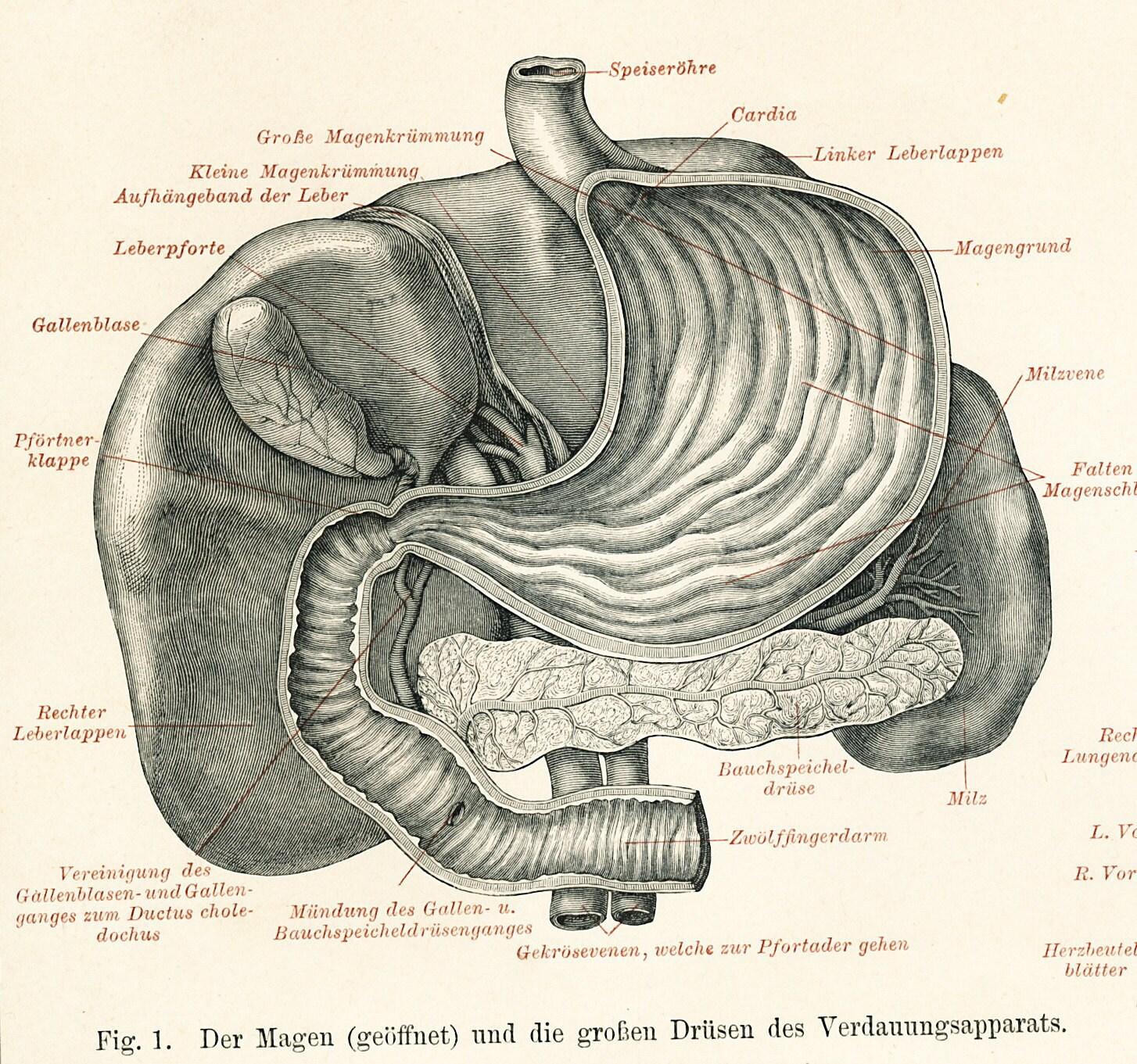 Ausgezeichnet Gallensystem Anatomie Zeitgenössisch - Menschliche ...